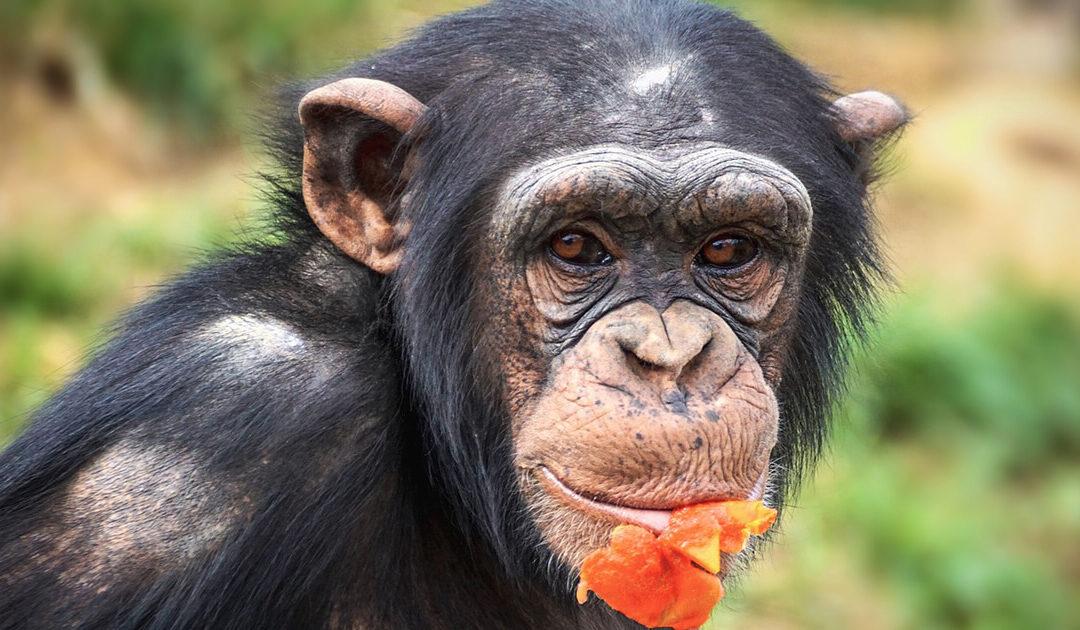 Streit um die Abgabe der Zoo-‰Schimpansen