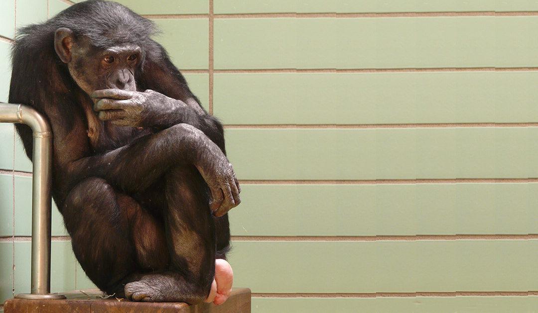 Debatte über Schimpansenhaltung