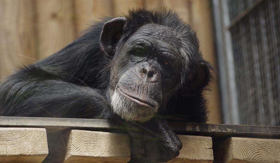 Umbaumaßnahmen der Schimpansenanlage